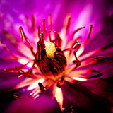 Makroblomma i lilor Arkivbilder