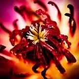 Makroblomma i lilor Royaltyfri Bild