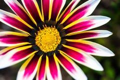Makroblommarosa färger och guling Arkivbild