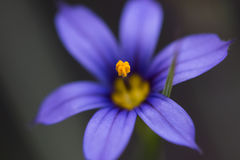 Makroblumen-Blau auf Stamm 2 Stockbilder