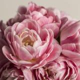 Makroblumenrosatulpe in der Blüte Stockfotos