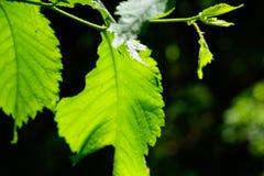 Makrobokträdblad i ljust solljus arkivfoto