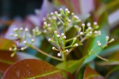 Makrocloseup av en slående vit blommande blomma Sällsynt blomma som enligt lag skyddas royaltyfria bilder