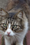 Makrocloseup av longhair strimmig kattkatts framsida Royaltyfria Foton
