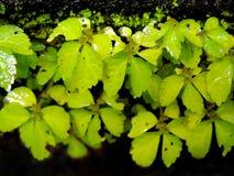 makrocloseupen av liten vibrerande tillväxt för den gröna växten på mörka väggar i regnen med fuktigt blöter sidor med vattensmå  royaltyfri foto