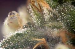 Makrodetail der Hanfknospe u. des x28; Russisches schwarzes Marihuana strain& x29; wi Stockbild