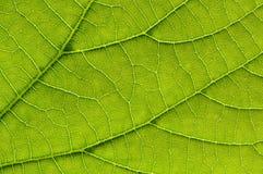 Makrodetail des grünen Blattes Stockfotos
