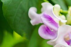 Makrodetail einer weißen und purpurroten tropischen Orchidee Stockbild