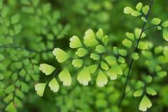 Makrodetail von grünen Blättern einer tropischen Anlage Stockfotografie