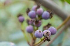 Makrodetail von grünen und purpurroten Beeren einer tropischen Anlage Lizenzfreie Stockbilder