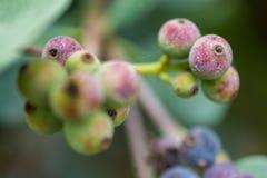 Makrodetail von grünen und purpurroten Beeren einer tropischen Anlage Lizenzfreies Stockfoto