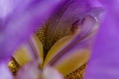 Makrodetails der inneren Lavendelirisblume stockbilder