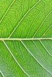 Makrodetails von grünen Blattadern im vertikalen Rahmen Lizenzfreie Stockfotos