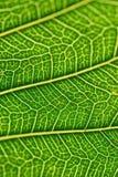 Makrodetails von grünen Blattadern im vertikalen Rahmen Stockfoto