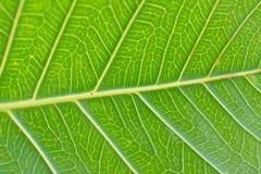 Makrodetails von grünen Peepal-Blattadern Stockfotos