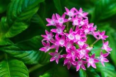 Makrodetalj av en grupp av små rosa blommor Arkivbilder
