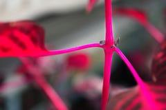 Makrodetalj av en purpurfärgad för `-iresine för tropisk växt ` för aureoreticulata för herbstii, Royaltyfria Foton