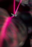 Makrodetalj av en purpurfärgad för `-iresine för tropisk växt ` för aureoreticulata för herbstii, Royaltyfria Bilder