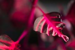 Makrodetalj av en purpurfärgad för `-iresine för tropisk växt ` för aureoreticulata för herbstii, Arkivbilder