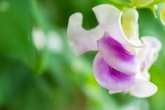 Makrodetalj av en vit och purpurfärgad tropisk orkidé Royaltyfri Bild