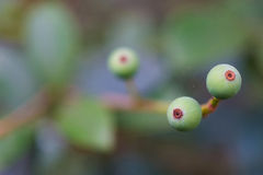 Makrodetalj av gröna och purpurfärgade bär av en tropisk växt Royaltyfri Foto