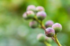 Makrodetalj av gröna och purpurfärgade bär av en tropisk växt Arkivfoton