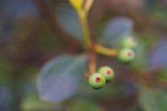 Makrodetalj av gröna och purpurfärgade bär av en tropisk växt Arkivbild