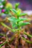 Makrodetalj av lite gräsplanjordväxten Arkivfoto