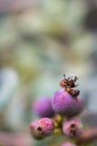 Makrodetalj av purpurfärgade bär av en tropisk växt Arkivbild