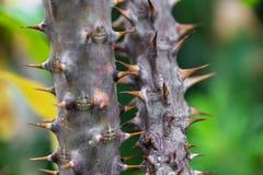 Makrodetalj av stammen med ryggar av en tropisk jordväxt Arkivbilder