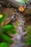 Makrodetalj av stammen med ryggar av en tropisk jordväxt Arkivbild