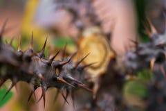 Makrodetalj av stammen med ryggar av en tropisk jordväxt Royaltyfri Foto