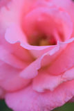 Makrodetaljer av färgade vibrerande rosa färger steg i vertikal ram Arkivbild