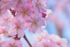 Makrodetaljer av japanska rosa färger Cherry Blossoms Arkivbild