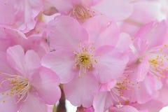 Makrodetaljer av japanska rosa färger Cherry Blossoms Royaltyfria Bilder