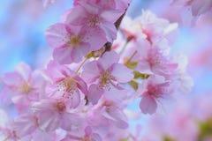 Makrodetaljer av japanska rosa färger Cherry Blossoms Royaltyfria Foton