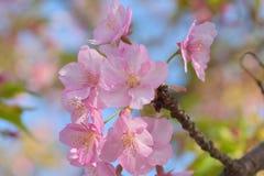Makrodetaljer av japanska rosa färger Cherry Blossoms Royaltyfri Fotografi