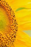 Makrodetaljer av solrosyttersida Royaltyfria Bilder
