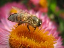Fet honeybee på blomma Arkivbilder