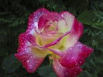Makroen av erbjuder rosa dubbel fröjd Röda kronblad täckas med regndroppar eller morgondagg arkivfoto