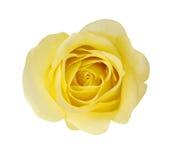 Gul rosa blomma Royaltyfria Bilder
