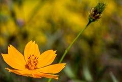 Makroen av gult kosmos blommar med suddighetsbakgrund royaltyfri fotografi