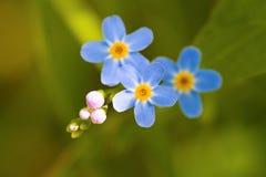 Makroen av mycket små blått blommar förgätmigej och färgrik gräsbakgrund i natur close upp royaltyfri bild