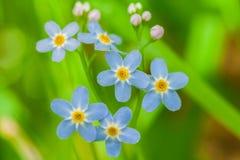 Makroen av mycket små blått blommar förgätmigej och färgrik gräsbakgrund i natur close upp royaltyfri fotografi