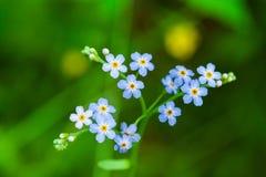 Makroen av mycket små blått blommar förgätmigej och färgrik gräsbakgrund i natur close upp fotografering för bildbyråer