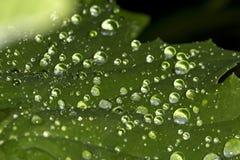 Makroen av vatten tappar på ett blad i Windsor, Connecticut Royaltyfria Bilder
