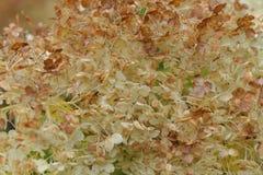 Makroen av vita blommor för släta arborescens för en vanlig hortensia på sommar arbeta i trädgården Royaltyfri Foto