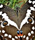 Stor kejsarefjäril royaltyfria foton