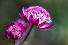 Makroen blommar lilor på stammen Fotografering för Bildbyråer