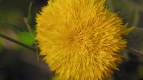 Makroen den härliga gula blomman växer i trädgården arkivfilmer